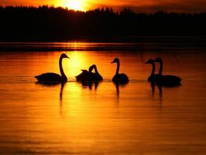 Postal: Cisnes en el agua al amanecer