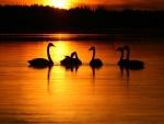 Cisnes en el agua al amanecer