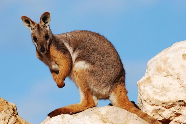 Canguro sobre unas rocas