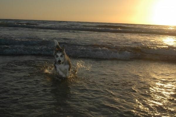 Alaskan Malamute jugando en la playa