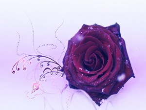 Postal: Rosa burdeos