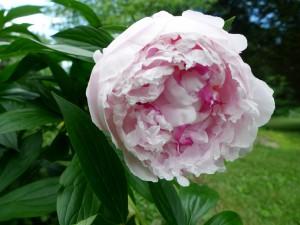 Peonía en el jardín