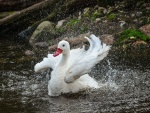 Cisne aleteando sus alas en el agua
