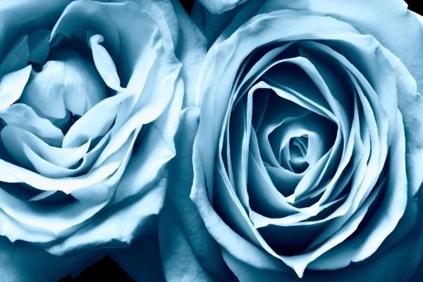 Capas de una rosa