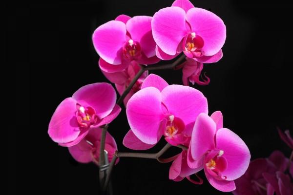 Orquídea color rosa