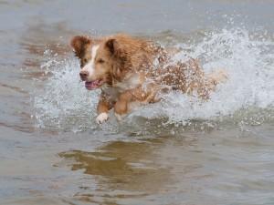 Perrito corriendo en el agua