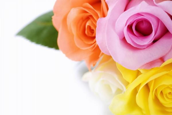 Cuatro colores de rosas