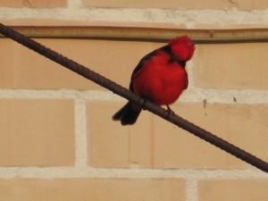 Postal: Pajarito rojo mirando