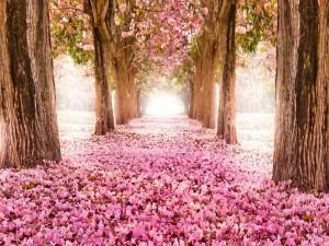 Postal: Parque con cerezos en flor