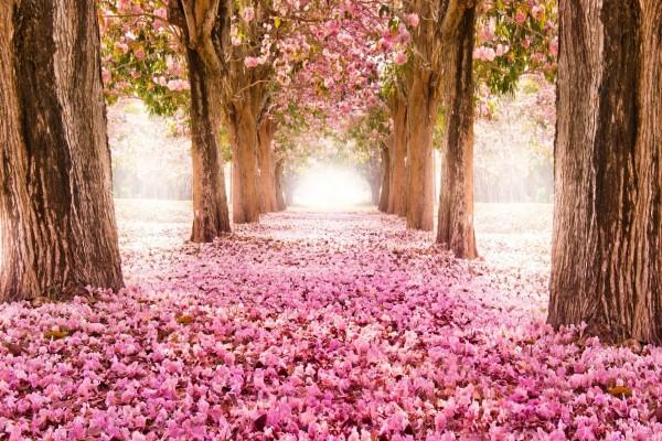 Parque con cerezos en flor
