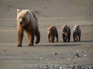 Postal: Mamá osa y sus oseznos caminando por la playa