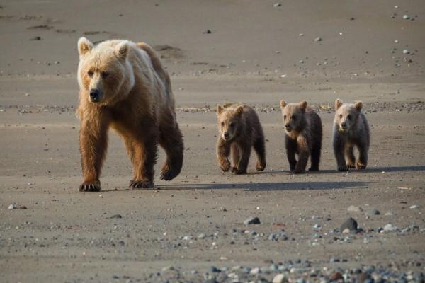 Mamá osa y sus oseznos caminando por la playa