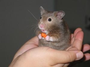 Un hámster comiendo un pedazo de zanahoria