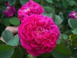 Postal: Rosa en todo su esplendor