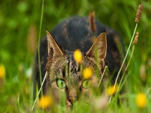 Gato de ojos verdes, atento sobre la hierba