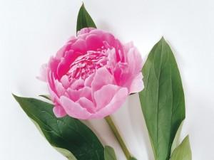 Flor peonía