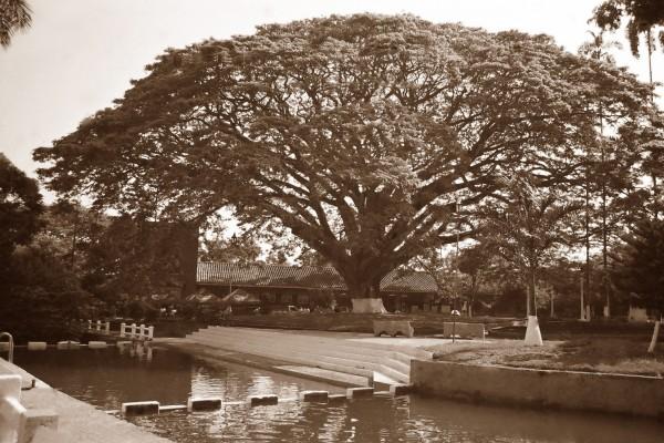 Gran árbol en Santander de Quilichao, Colombia