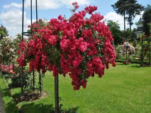 Postal: Rose Garden, Bagatelle (París, Francia)