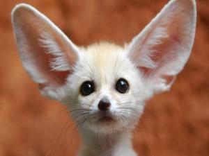 Fénec de grandes orejas