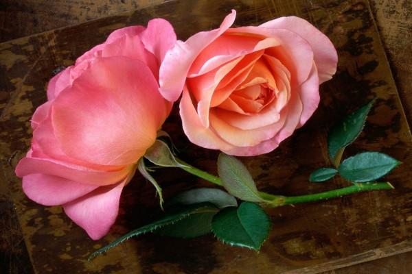 Rosas recién cortadas