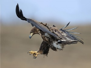 Águila en el aire