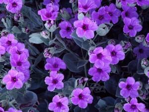 Postal: Flores color violeta