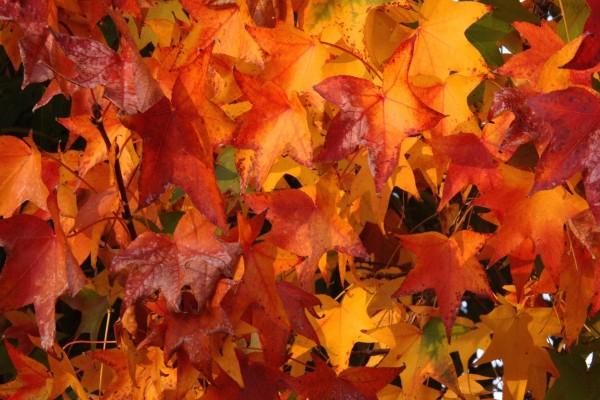 Hojas color de otoño