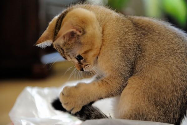 Gatito agarrando su cola