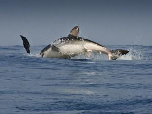 Salto de tiburón
