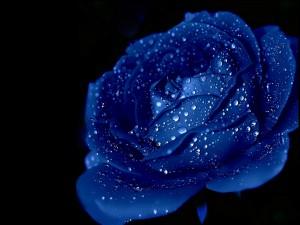 Postal: Rosa azul con gotas de agua