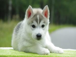 Postal: Pequeño Husky