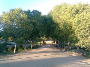 Postal: Árboles a orillas de un camino