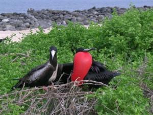 Postal: Fregata magnificens, Isla Seymour Norte, Galápagos