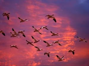 Postal: Gansos en el cielo