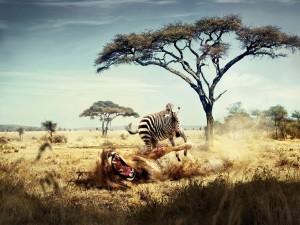 Postal: Cebra cazando un león