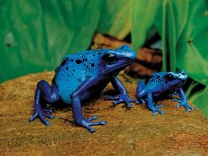 Dos ranas azules