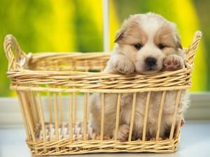 Postal: Cachorro en una cesta de mimbre