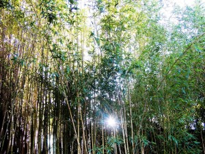 Postal: Cañas de bambú en un parque de Niza