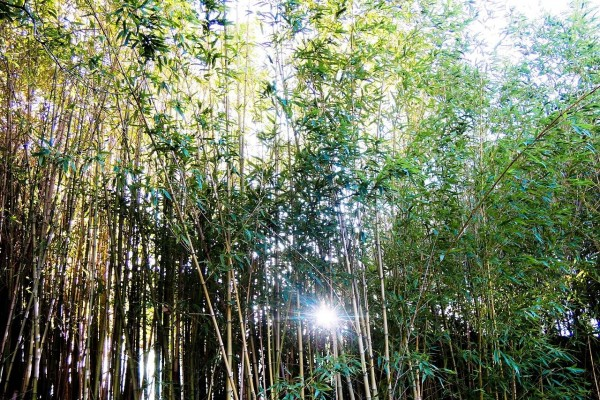 Cañas de bambú en un parque de Niza