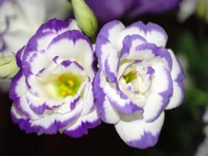 Postal: Flores blancas y violetas