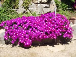 Flores fucsia