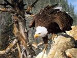 Águila al acecho