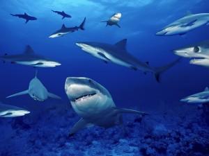 Tiburones bajo el mar