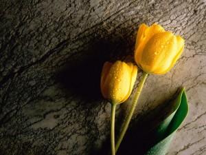 Postal: Dos tulipanes amarillos