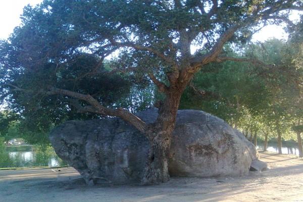 Un árbol junto a una piedra