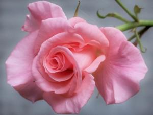 Preciosa rosa de color rosa