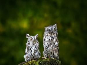 Dos búhos somnolientos