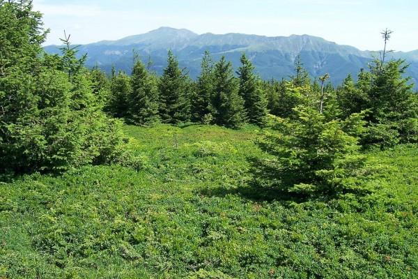 "Picea Abies, ""Foce di Campolino"" (Montes Apeninos, Italia)"