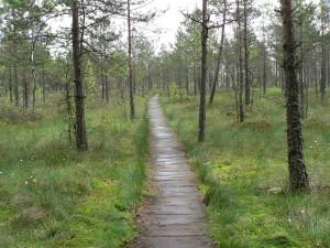 Postal: Pantanos Cepkeliu en el Parque Nacional Dzūkija, cerca Marcinkonys (Lituania)