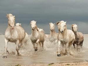 Caballos trotando en el agua